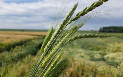 Les blés de Maugrétout-Walcourt